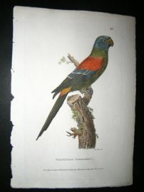 Shaw C1800's Antique Hand Col Bird Print. Solstitial Parakeet